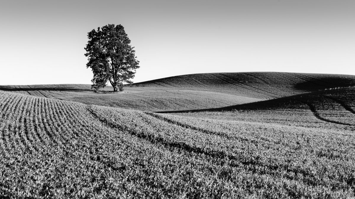 A tree stands alone in the rolling fields of northwestern Idaho