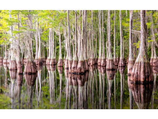 Cypress trees at George L. Smith State Park