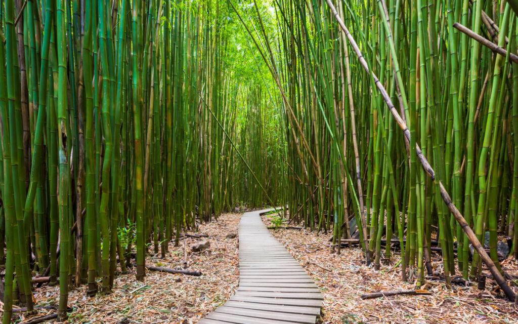 A walkway cuts through a bamboo forest