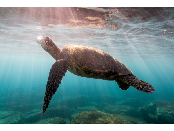 A turtle goes up for a breath of air along Kaanapali Beach, Maui