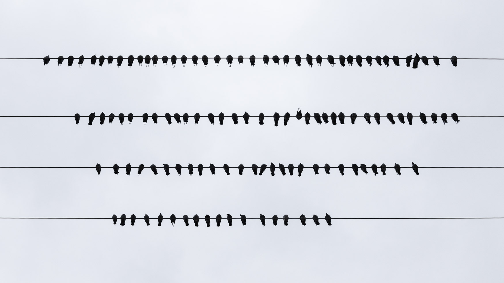 A band of pigeons sits on a telephone wire in Columbus, Ohio